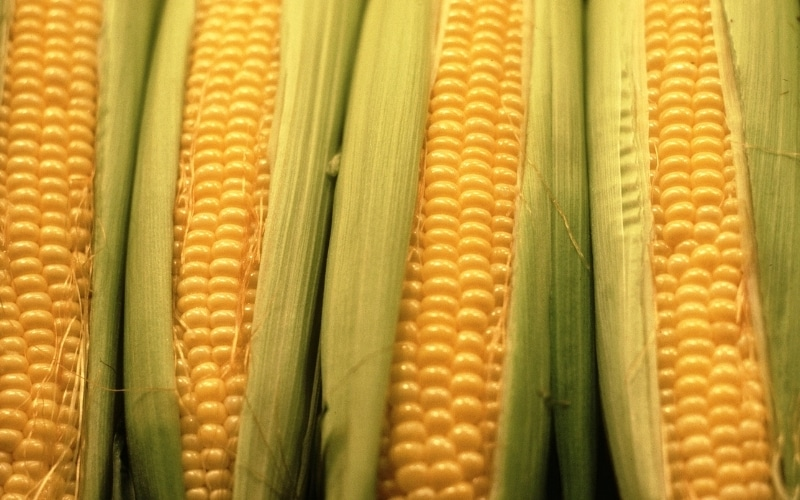 Corn Prices Climb 142% To Mark Highest In Eight Years
